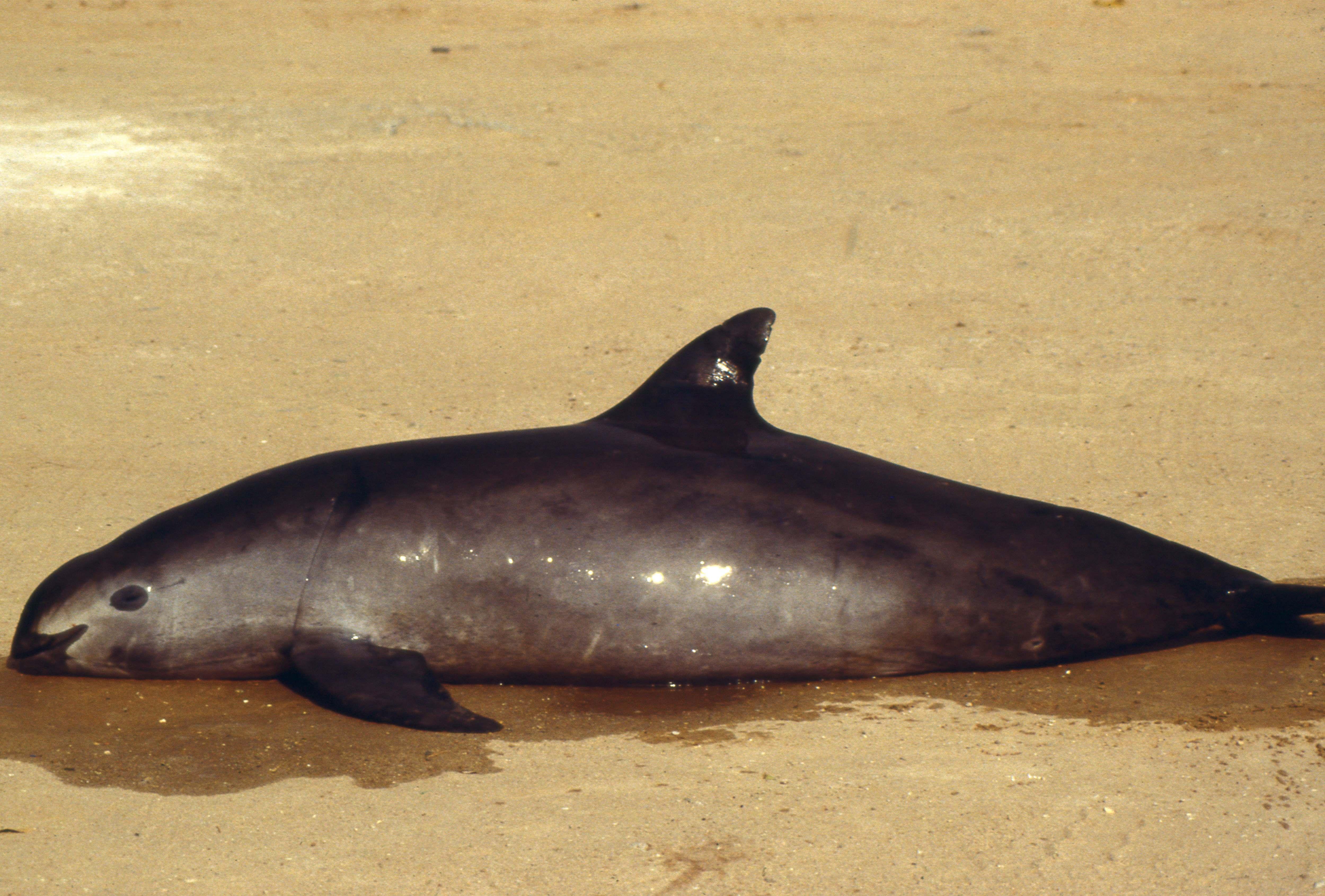El hábitat de la vaquita marina declarado Patrimonio Mundial en peligro