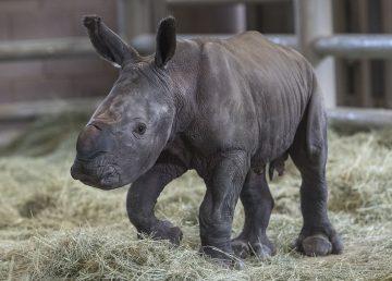 Rinoceronte blanco del sur nacido en zoológico podría ayudar a salvar subespecie