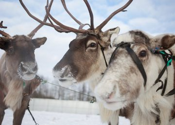 Hambruna causa muerte de 200 renos en archipiélago noruego