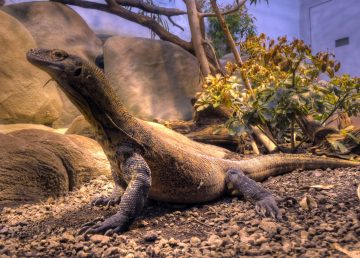 Científicos muestran por primera vez el genoma del dragón de Komodo