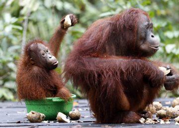 Plantaciones de palma afectan a las poblaciones de orangutanes