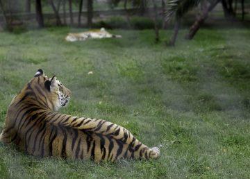 Denuncian crueldad a leones y tigres para surtir medicina