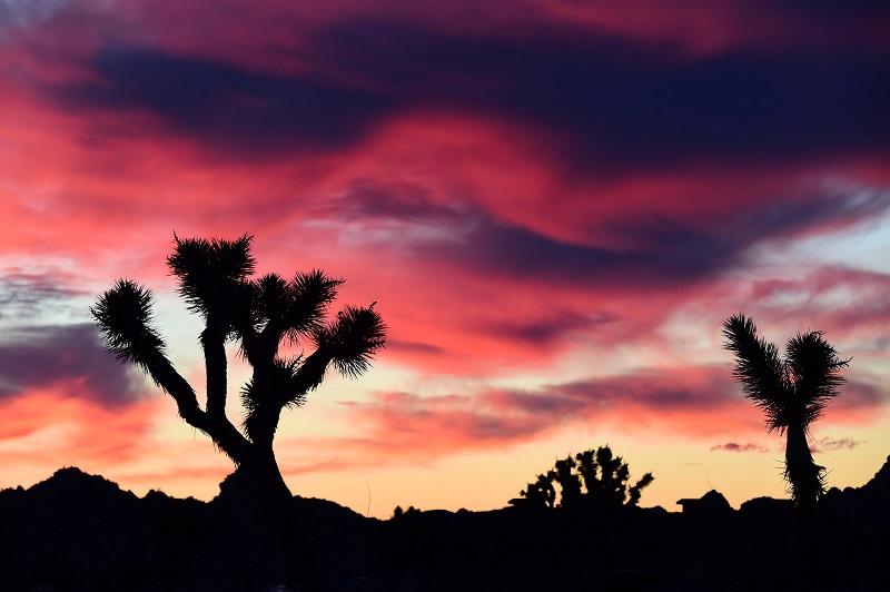El cambio climático podría acabar con los árboles de Josué en 2100