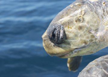 Autoridades callan ante muerte masiva de tortugas en Quintana Roo