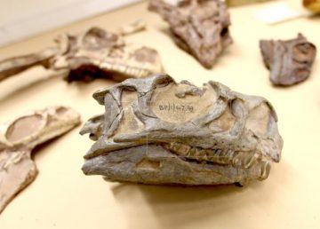 Hallan un nuevo tipo de dinosaurio con un fósil mal identificado