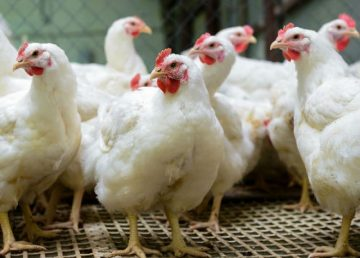 El ministerio recordó que Perú es libre de influenza aviar, enfermedad vírica altamente contagiosa que afecta tanto a las aves domésticas como a las silvestres.