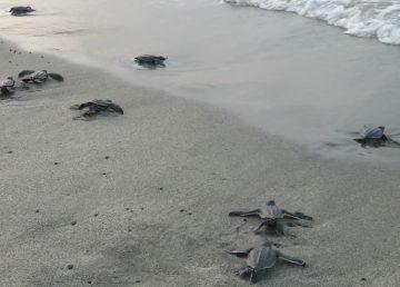 Se pierden 8.4 millones de huevos de tortuga por Narda