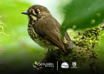Descubren nueva especie de ave en Colombia
