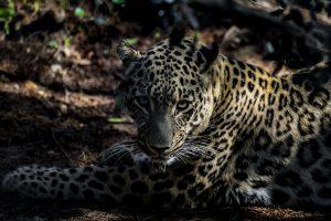 Nacen tres leopardos de Persia en el zoológico de Lisboa