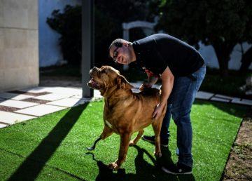 Ronda, un impresionate Dogo de Burdeos, salvado por una prótesis en fibra de carbono