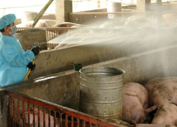 Descubren en Taiwán un cerdo contaminado con la peste porcina
