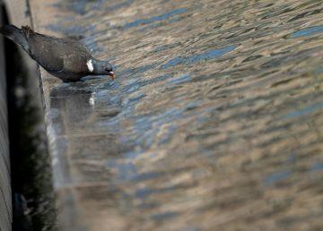 Los mechones de pelo, culpables de las palomas lisiadas