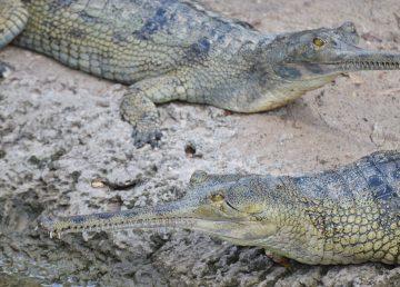 Podrían salvar de extinción a cocodrilo gavial, unas 100 crías en Nepal