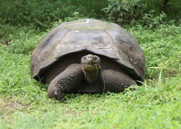 Conductor pagará 11.000 dólares de multa por atropellar a una tortuga en Galápagos