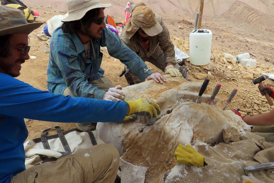 Hallan en Chile fósiles de un gran depredador marino del Jurásico