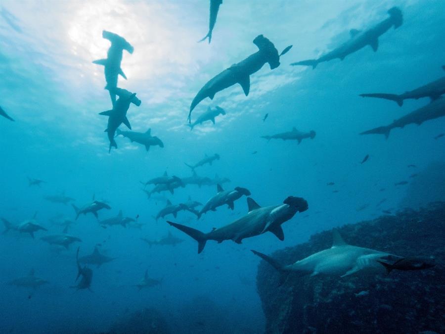 La travesía de un tiburón martillo: de Galápagos a Cocos a 50 kilómetros por día
